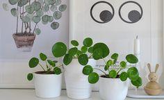 Die Ufopflanze (Pilea peperomioides) ist wuchsfreudig und pflegeleicht