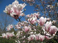 I had wanted magnolias in my wedding bouquet, but we couldn't fine them in Chicago.  :(