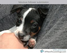 brand new Jack Russell puppy ...........click here to find out more http://googydog.com