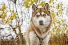 Siberian Husky Saija, from Northern Norway