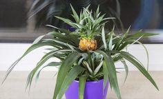 Ananas-Pflanze mit Frucht