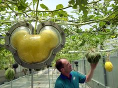 Only at Disney.Disney World's Best Kept Food Secrets. (Disney grows a lot of their own vegetables. They grow them in the shape of Mickey! Walt Disney World, Disney Parks, Disney Tips, Disney World Vacation, Disney Food, Disney Vacations, Disney Magic, Disney Recipes, Disney Worlds