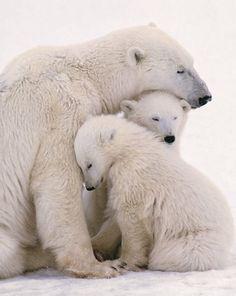 loving bears | Loving Polar Bears
