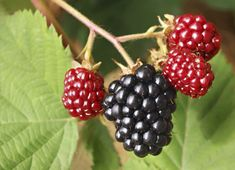 With berries growing in popularity as a healthful food item, providing vitamins, phytochemicals and antioxidants, blackberries are beginning to take a more prominent place in your grocer's produce department. Thornless Blackberries, Growing Blackberries, Growing Grapes, Growing Herbs, Blueberries, Blackberry Tree, Blackberry Plants, Blackberry Tattoo, Citrus Trees