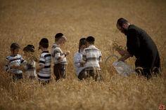 shavuot barley harvest