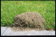 GETTING RID OF FIRE ANTS wow! Simply pour 2 cups of CLUB SODA directly in the center of a fire ant mound. The carbon dioxide in the water is heavier than air and displaces oxygen which suffocates the queen and the other ants. The whole colony will be dea Diy Garden, Lawn And Garden, Garden Landscaping, Ants In Garden, Summer Garden, Outdoor Projects, Pest Control, Bug Control, Good To Know