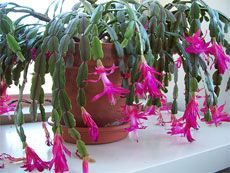 Schlumbergera x buckleyi - True Christmas Cactus have fleshy stems that are divided into flattened leaf-like segments with scalloped margins. Garden Plants, Indoor Plants, Pruning Plants, Garden Trellis, Christmas Cactus Care, Christmas Plants, Inside Plants, Cactus Flower, Easter Cactus