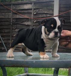 English Bulldog Puppies, French Bulldog, Boston Terrier, Dogs, Animals, Animales, Bulldog Frances, Boston Terriers, Animaux