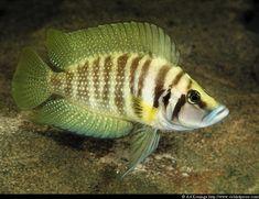 Calvus Cichlid Yellow - Altolamprologus Calvus #TropicalFishFreshwater