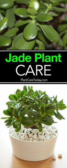 succulent garden care How To Care For and Grow The Jade Plant: Video The jade plant, care for these small, sturdy succulents is simple and the Crassula (real name) is a great beginner houseplant, along with the spider plant. Crassula Succulent, Succulent Care, Succulent Gardening, Container Gardening, Gardening Tips, Organic Gardening, Jade Succulent, Vegetable Gardening, Hydroponic Gardening