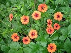 Image result for potentilla x tonguei