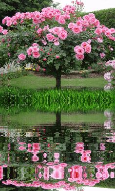 gif roses - Page 17 Good Morning Beautiful Flowers, Beautiful Flowers Pictures, Beautiful Rose Flowers, Flower Pictures, Beautiful Butterflies, Amazing Flowers, Beautiful Nature Wallpaper, Beautiful Gif, Beautiful Gardens