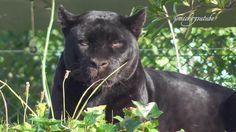 More Foootage Of The Beautiful Black Jaguar