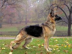 25 Best Guard Dog Breeds For Your Family Ever wonder what dogs would make awesome Guard Dogs? Here is a list 5 awesome ones to check out. Best Guard Dog Breeds, Top 10 Dog Breeds, Best Guard Dogs, German Shepherd Pictures, German Shepherd Puppies, German Shepherds, German Dogs, Canis Lupus, What Dogs