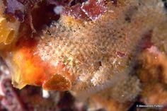 Phoronis Hippocrepia (foto: Alessandro Falleni)