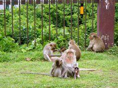 Ciudad de los monos en  #Lopburi #Tailandia Kangaroo, Animals, Thailand Travel, Rompers, Cities, Baby Bjorn, Animales, Animaux, Animal