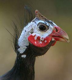 Guinea Fowl Farm Animals, Animals And Pets, Quails, Guinea Fowl, Garden Birds, Birds 2, Colorful Birds, Bird Species, Hens