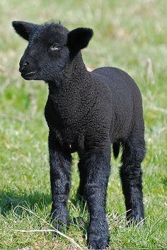 La oveja negra...