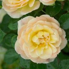 Oso Easy 'Honey Bun' Floribunda Rose: flower color ranges from pink to yellow to cream. semi-double flowers bloom from mid summer to fall, 24-36 Inches tall, disease resistant.