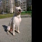 Dogo Argentino new wallpapers