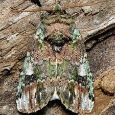 Schizura unicornis, Unicorn Caterpillar Moth.