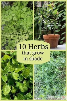 No sun in your garden? No problem! These 10 culinary herbs that grow in the shade let you enjoy the delicious flavor of homegrown herbs even with limited sun. Perfect for containers, raise beds, or in-ground gardens, meet 10 shade-tolerant herbs. Growing Seeds, Growing Herbs Indoors, Chives Plant, Easy Herbs To Grow, Organic Weed Control, Plant Diseases, Vegetable Garden Design, Garden Pests, Cata