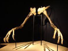 Bras de Deinocheirus mirificus, CosmoCaixa, Barcelone. Dinosauria, Saurischia, Theropoda, Ornithomimosauria, Deinocheiridae. Auteur : Eduard Solà.