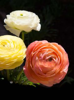 Ranunculus asiaticus 'Mache™ Pastel Mix' is a seed-grown strain of Persian buttercup that features fully double orange, scarlet, and yellow blooms above dark green foliage that grows to 16 inches in height during cool weather. When temperatures warm, the plants stop growing and store their nutrients in bulbs. For this reason, the seeds are sown in a cool greenhouse in winter, six weeks before bloom time. The bulbs, which resemble a hand with fingers, are hardy to 10 degrees Farenheit.
