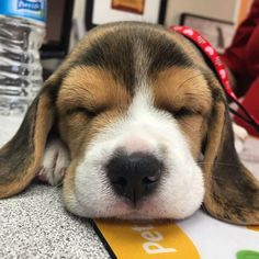 Tuckered Out #Beagle
