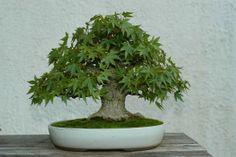 Acer palmatum   Japanese Maple  Donor: Japanese Prime Minister Keizo Obuchi   In Training Since 1984