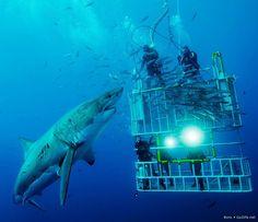 Buceo con tiburón Blanco desde Jaula