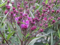 Vernonia angustifolia x missurica –ironweed, uit de asterfamilie, bloeit lilapaars vanaf juli tot sept. stevige hoge plant (1.8 – 2.2 m. ) kan op alle grond, niet te vochtig.