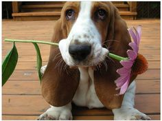 Basset love, for you Chloe.  RIP 8/15/11