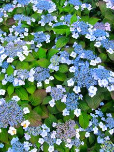Lace Cap Hydrangea....does well in part shade where I live.