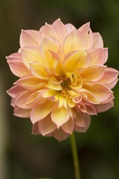 Apricot Dahlia by Anna Calvert on 500px