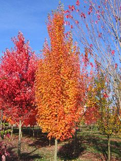 "Acer rubrum ""Armstrong Gold"" - Érable Rouge / Red Maple - Nos végétaux -"