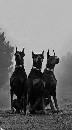 Doberman Pinscher Dog, Doberman Dogs, Dobermans, Baby Animals, Cute Animals, Scary Dogs, Black And White Picture Wall, Black Aesthetic Wallpaper, Black And White Aesthetic