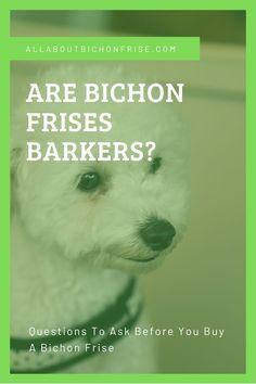 Are Bichon Frises Barkers In 2020 Bichon Frise Dogs Bichon Frise Bichon
