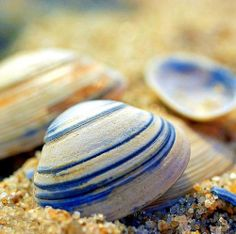 pretty blue-striped shells