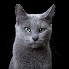 The Russian Blue is a naturally-occurring breed from Russia, named for their silver-blue coat. These short-haired cats also have beautiful green eyes. They are generally very shy cats, and need to warm up to strangers before being friendly.