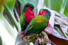 Lorichetto di Kuhl - Rimatara Lorikeet - Vini kuhlii In Natura, Birds, Parrots, Animals, Image, Feather, Animales, Quill, Animaux