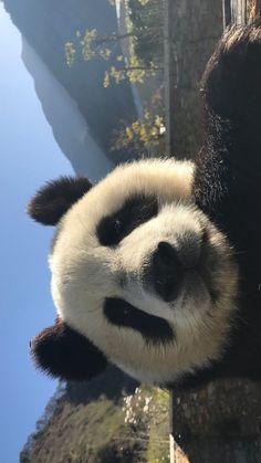 ca ke ❤️ Cute Panda Wallpaper, Bear Wallpaper, Panda Wallpaper Iphone, Animal Wallpaper, Cute Baby Animals, Animals And Pets, Funny Animals, Wild Animals, Photo Panda