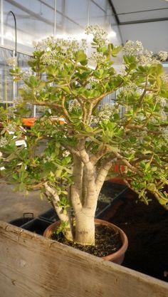 Crassula ovata ou Crassula argentea pour l'ancien nom ou communément arbre de Jade. Une belle plante d'intérieur, une plante pour rêver de bonsaï. Une plante qui forme un petit arbre d'intérieur. 22 ans que je conserve celui-ci avec l'espérance de poursuivre...