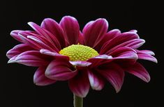 Flower fine art photography of a purple blooming Gerbera blossom over black. The graceful and elegant flower over black epitomizes luxury, strength, and beauty. www.RothGalleries.com