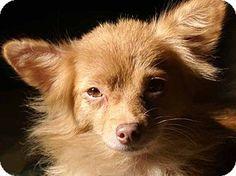 Staunton, VA - Chihuahua Mix. Meet Sasha, a dog for adoption. http://www.adoptapet.com/pet/11552160-staunton-virginia-chihuahua-mix