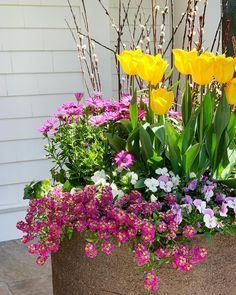 """152 """"Μου αρέσει!"""", 6 σχόλια - Susan Nock (@sngardendesign) στο Instagram: """"Is it Monday again? Hope these will brighten the start of your week.  Yellow tulips in the sun are…"""" Monday Again, Yellow Tulips, Sun, Plants, Instagram, Plant, Planets, Solar"""