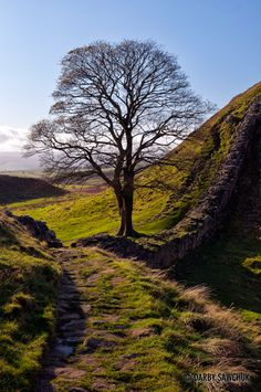 Robin Hood's Tree at the Sycamore Gap at Hadrian's Wall. Always wondered why Robin Hood (Prince of Thieves) took a two hundred mile detour north going from Dover to Nottingham. P'raps he got lost.