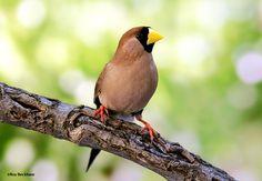 The Masked Grassfinch - Poephila personata. Sexes look alike. Norhern Australia