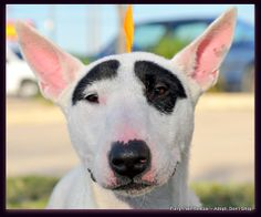 Lexi is a young Bull Terrier currently located in Houston, TX! Contact Furry Pals Rescue, Inc. for more information!