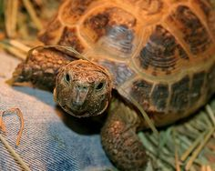 Caring for and Feeding a Russian Tortoise